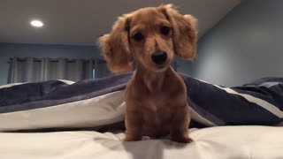 Confused dachshund head tilts to strange sounds