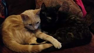 Snuggling cats resemble yin yang symbol - Video