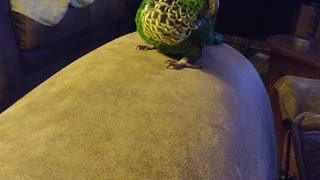 Cute Birdie Rolls off Couch