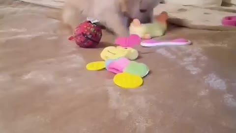 small cute golden dog play with toys