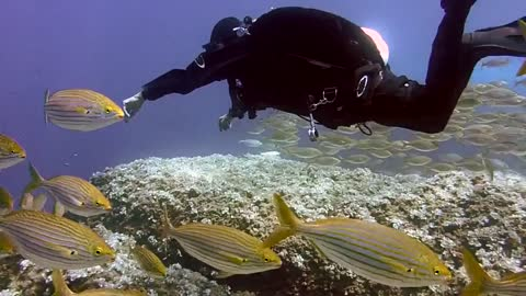 Dive with immense fish in the ocean