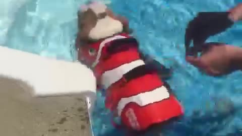 English Bulldog Puppy swimming for the first time