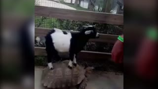 Goat Riding a Tortoise! - Video