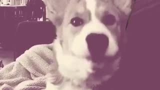 Compilation of corgi puppy dog yawning - Video