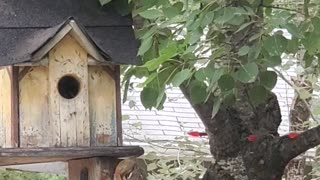Squirrel Scurries Away Baby to Birdhouse