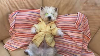 Westie takes much needed spa day - Video