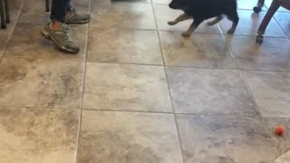 German shepherd puppy wants broom  - Video