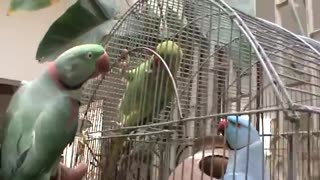 this is my talking parrots  - Video