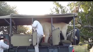 Lion Jumps Into Safari Truck Full Of Students - Video