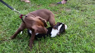 Cutest Puppy Wrestling!  - Video