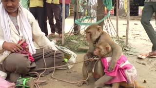 Funny Animal : Monkey Dance Video Just like Humans  - Video