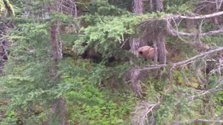Bear Chargers Hunter in Alaska - Video