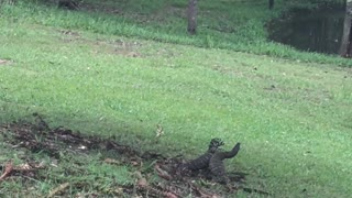 Komodo Dragon Scuffle - Video