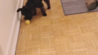 "Miniature Schnoodle fights an ""evil"" lemon wedge"