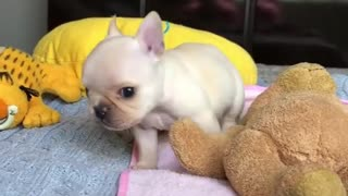 This video of a baby French Bulldog will make you wish you could snuggle one