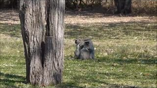 Baby baboon playing with monkeys  - Video