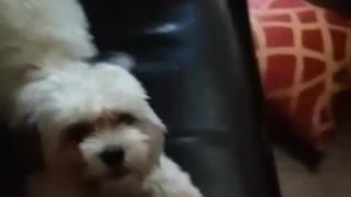 Excited puppy has extreme case of the zoomies - Video