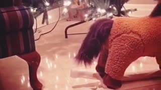 Bulldog puppy scared of rocking horse