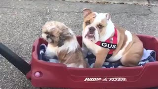 Pitbull and brown dog get pulled in little red wagon - Video