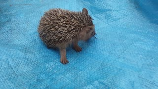 Cute Hedgehog Eating a Bug