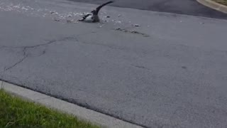 Driver Kills Goose With Ford Truck Claiming He Had a Permit - Video