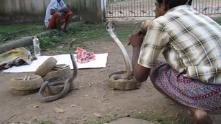 Snake charmer with three cobras on the roadside in India  - Video