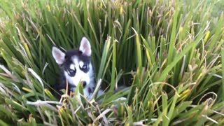 Sneaky Husky Puppy Loves Hiding In The Backyard Plants - Video