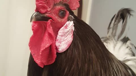 Rooster Freshens Up To Meet Hens
