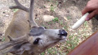 Wild deer shockingly allow people to hand-feed them