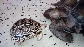 Leopard tortoise, Jackpot bullies new member  - Video