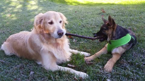 Sweet Golden Retriever Sharing His Stick With a Cute German Shepherd Puppy