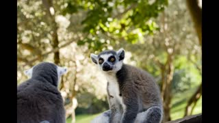 Lemurs of Madagascar, Ring Tailed Lemurs
