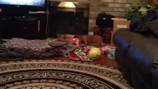 Funny Jealous Dog Steals The Pillow From His Buddy