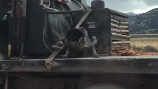 Terrified Dog Rides on Truck Bed Down the Highway - Video