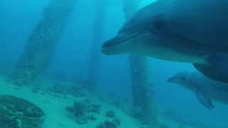 Dolphins swimming in the Red Sea, Eilat Israel