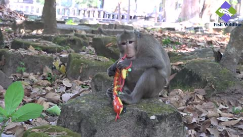 A monkey is trying to eat  an animal toy
