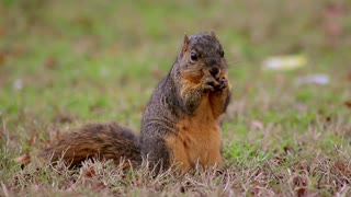 Smart Squirrel Explores Ground For Some Nuts
