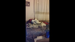Dreaming Husky having a nightmare - Video