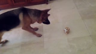 "German Shepherd doesn't trust ""talking"" hamster"