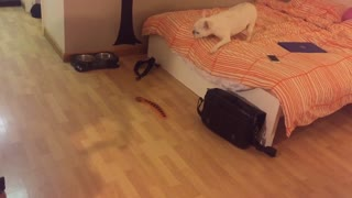 French Bulldog challenges foot-long centipede - Video