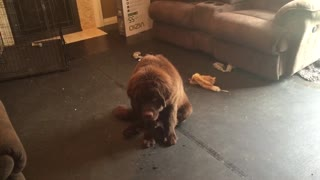 Newfoundland puppy can't hide his guilt - Video