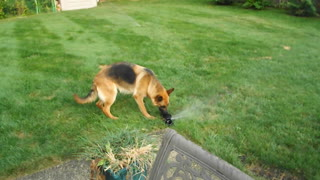 German Shepherd highly entertained by water sprinkler - Video