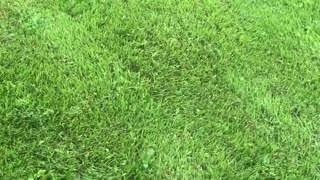 Massive Turf Blister in Kentucky - Video
