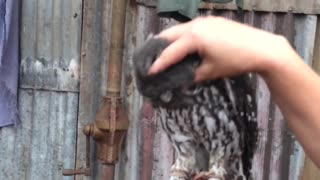 Owl makes crazy loud noises when being scratched - Video