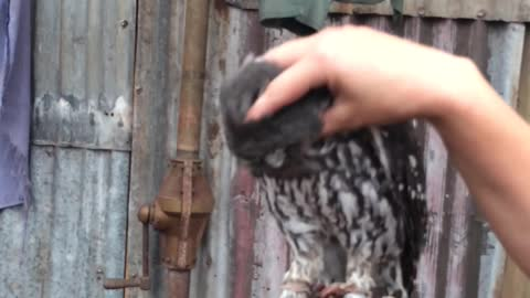 Owl makes crazy loud noises when being scratched