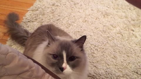 Adorable fluffy cat reluctantly sits for treat