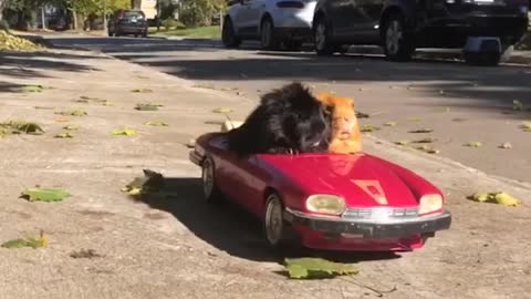 Guinea pigs go for ride in RC convertible