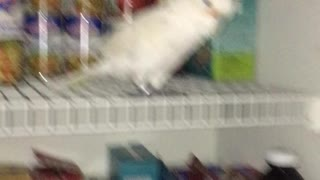 Parrot refuses to leave food pantry - Video