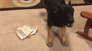 German Shepherd freaks out!!!  - Video