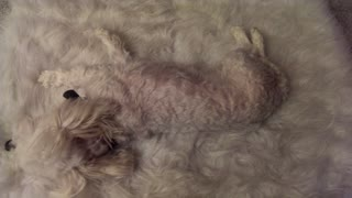 'Chameleon' dog perfectly camouflages with white rug - Video